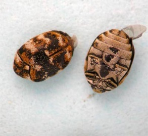 Figure 1.  Varied carpet beetles (left- top view; right- bottom view)