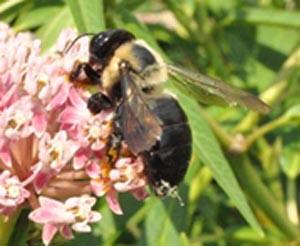 Figure 1. Carpenter bee – note shiny, bare, black abdomen