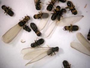 Figure 1. Termite swarmers
