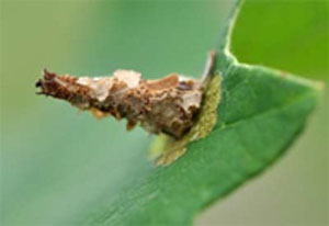 Figure 1. This newly hatched bagworm caterpillar has already started its shelter and is feeding on an oak leaf. Early damage is confined to the upper leaf surface. (Photo: Lee Townsend, UK)