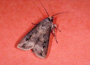 Figure 1. Black cutworm moth. (Photo: Doug Johnson, UK)