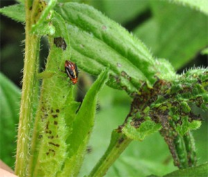 Figure 1. Four-lined plant bug nymph and feeding spot damage. (Photo: Lee Townsend, UK)