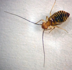 Figure 1. Barklouse. (Photo: Lee Townsend, UK)