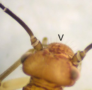 Figure 2. Close-up of a barklouse head). The 'V' in the image points to a bulge between antennae.(Photo: Lee Townsend, UK)