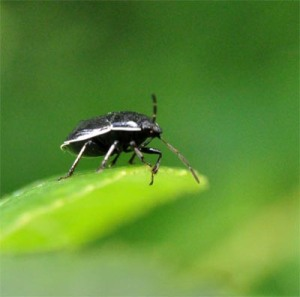 Figure 1. Adult burrower bug. (Photo: Lee Townsend, UK)