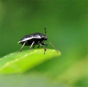 Figure 1. Adult burrower bug. (Photo: Lee Townsend, UK)