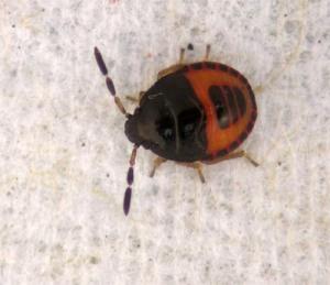 Figure 2 Burrower bug nymph. (Photo: Lee Townsend, UK)