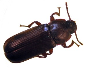 Figure 1 Darkling / mealworm beetle (Photo: Lee Townsend,UK)