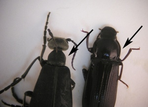 "Figure 2. Blister beetle (left) with distinct ""neck."" The darkling beetle (right) does not have a narrow neck. (Photo: Lee Townsend,UK)"