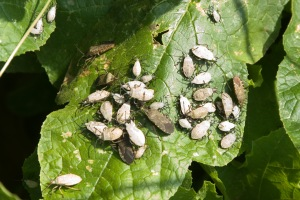 Figure 2. Early season squash bug management is critical as older nymphs can be very difficult to control. (Bessin, UK)
