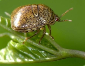 Figure 1. Adult kudzu bug (also known as bean plataspid) (Photo: University of Georgia)