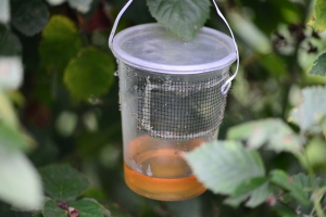 Figure 2. A spotted wing drosophila trap. (Photo: Ric Bessin, UK)