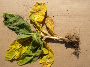 Figure 2.  Leaf yellowing and spotting with minimal root growth.  (Photo: Brenda Kennedy, UK)