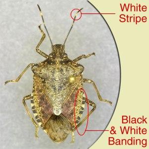 Figure 1  Diagnostic characteristics of brown marmorated stink bug. (Photo: Doug Johnson, UK)