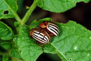 Figure 2. Colorado potato beetle adults. (Photo: Ric Bessin, UK)