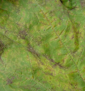 Figure 1. Initial symptoms of downy mildew include small, yellow, angular spots that are visible on the upper leaf surface. (Photo: Paul Bachi, UK)