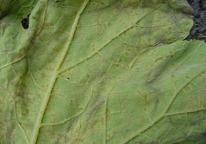 Figure 2. The downy mildew pathogen sporulates on lower leaf surfaces only.  (Photo: Paul Bachi, UK)