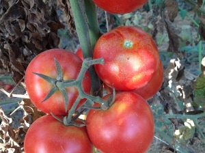 Figure 1. Spider mite damage to high-tunnel tomatoes can appear as flecking of the fruit. (Photo: Ric Bessin, UK)