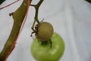 Figure 2. Fruit injury caused by tomato russet mite. (Photo: Ric Bessin, UK)