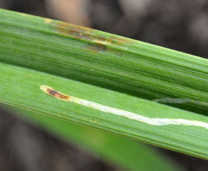 Figure 2. Pupa of a leafminer is visible at the end of a mine. (Photo: Lee Townsend, UK)