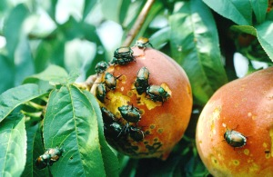 Figure 1. Japanese beetles attacking peaches during harvest. (Photo: Ric Bessin, UK)