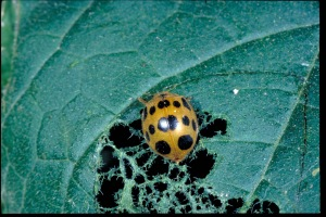 Figure 1. The squash beetle feeds on squash foliage and characteristically cuts a trench in the leaves and feeds within this area. (Photo: Ric Bessin, UK)