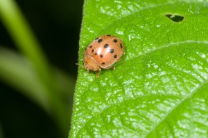Figure 2. The large Mexican bean beetle feeds on garden and soy beans. (Photo: Ric Bessin, UK)