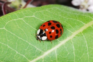 Figure 5. The multicolored Asian ladybug was accidently introduced into the U.S. and is a nuisance in homes during autumn. (Photo: Ric Bessin, UK)