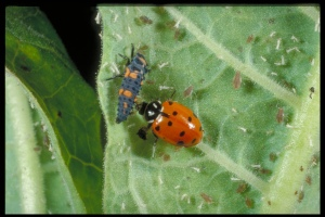 Figure 7. The convergent ladybug is sold commercially (note the ladybug larva in the photo). (Photo: Ric Bessin, UK)