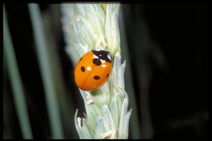 Figure 8. The seven-spotted lady beetle is less common than others but still contributes to pest reductions.(Photo: Ric Bessin, UK)
