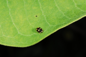 Figure 9. Not all ladybugs are large, this pin-headed size beetle is reported to feed on aphids.