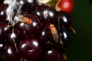 Figure 1. Spotted wing drosophila adults on blackberry.