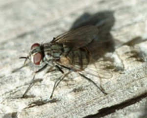 Figure 1. Resting stable fly – the biting mouthpart is a narrow black tube projecting from the front of the head. (Photo: Lee Townsend, UK)