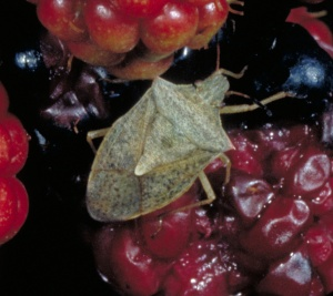 Figure 1. Brown stink bug. (Photo: Ric Bessin, UK)