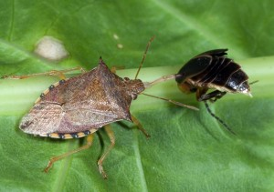 Figure 4. A spined soldier bug feeding on another insect (note the dark marking on the tip of the front wings). (Photo: Ric Bessin, UK)