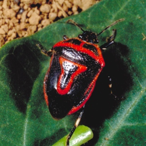Figure 5. The two-spotted stink bug is recognized by the spots on the thorax behind the head. (Photo: Ric Bessin, UK)