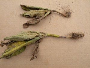 "Figure 3.  Dark tobacco with confirmed TSW showing stem cankers without ""classic"" foliar symptoms (Photo: Brenda Kennedy, UK)"