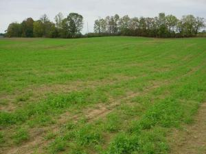 Figure 3. Scattered infestations of black legume aphids in 2008 caused some bare spots in fall-seeded fields. (Photo: Lee Townsend, UK)