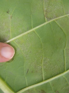Figure 2.  Active sporulation of the blue mold pathogen (Peronospora tabacina)—lower leaf surface. (Photo: Julie Beale, UK)