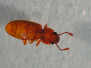 Figure 1. Foreign grain beetle. (Photo: Lee Townsend, UK)
