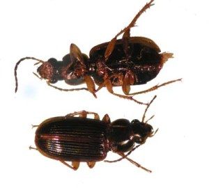 Figure 1.  Typical ground beetle (bottom and top view of insect).  Look for pinching jaws at the front of the head. (Photo: Lee Townsend, UK)