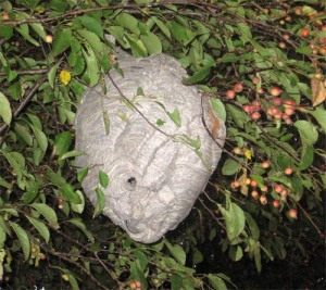 Figure 3. Bald-faced hornet nest (Photo: Lee Townsend, UK)