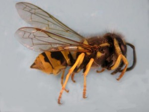 Figure 4.  Yellowjacket (Photo: Lee Townsend, UK)