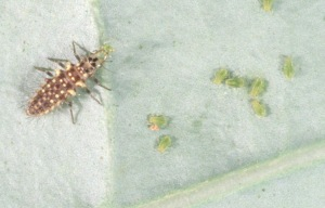 Figure 2. Lacewing larvae feed with long sickle-shaped mandibles. (Photo: Ric Bessin, UK)