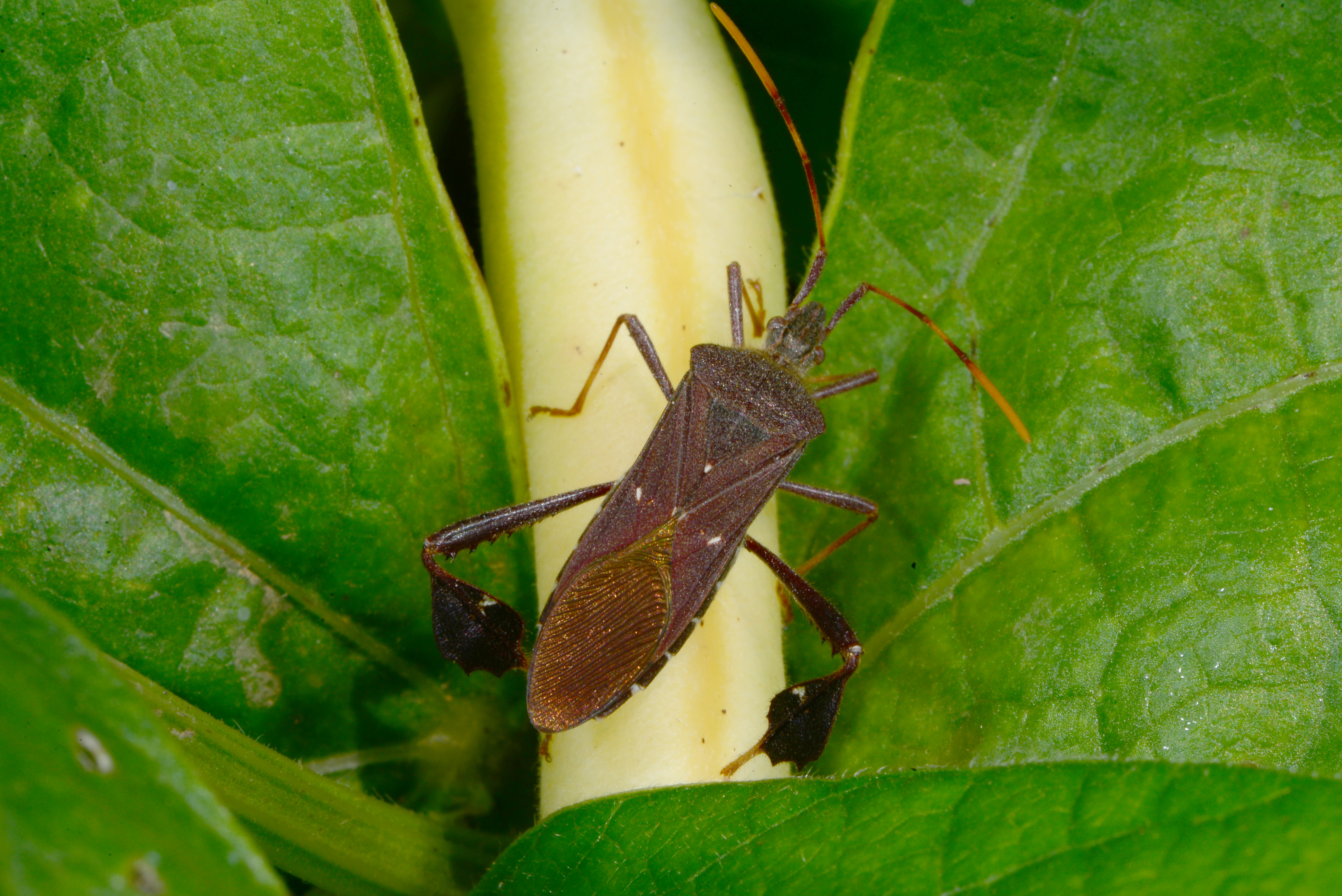 Watch for Leaf-Footed Bugs in Vegetables | Kentucky Pest News