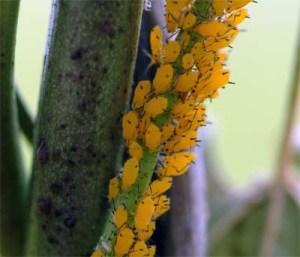 Figure 1. Oleander aphids on milkweed. (Photo: Lee Townsend, UK)