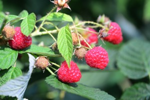Figure 1. Fall raspberries are very susceptible to spotted wing drosophila. (Photo: Ric Bessin, UK)