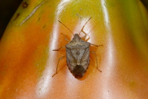 Figure 1. A brown stink bug (Euschistus servus) on tomato. (Photo: Ric Bessin, UK)