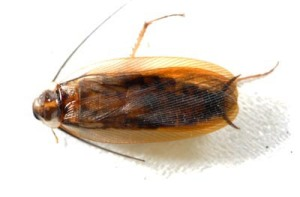 Figure 1. Wood cockroach. (Photo: Lee Townsend, UK)