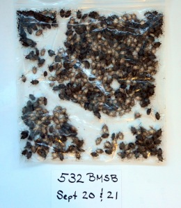Figure 1. Stink bugs collected from the exterior of my home this weekend. (Photo: Ric Bessin, UK)